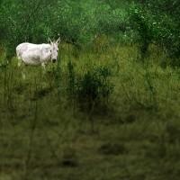Les ânes féeriques