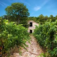 Vieilles pierres dans les vignes en agriculture biologique